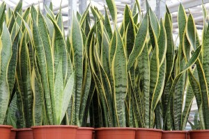 Potted-Sansevieria-trifasciata-Laurentii.jpg.1000x0_q80_crop-smart